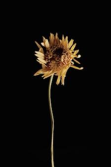 枯れた花黒い壁に枯れた花ドライフラワー