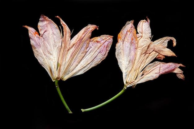 검은 배경에 놓인 시든 백합 꽃