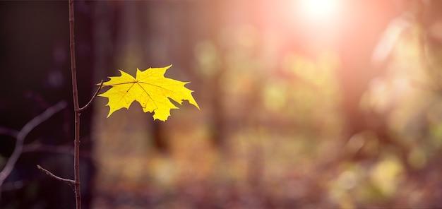 晴天、パノラマの暗い森の木の枝に枯れたカエデの葉