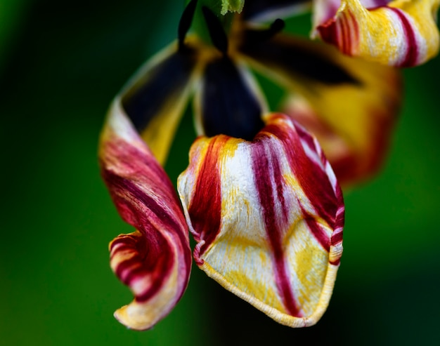 Withered multi-colored tulip