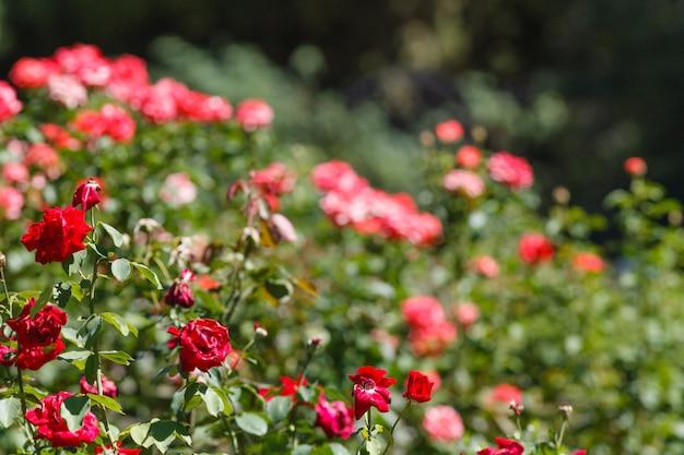 庭の枯れたバラ