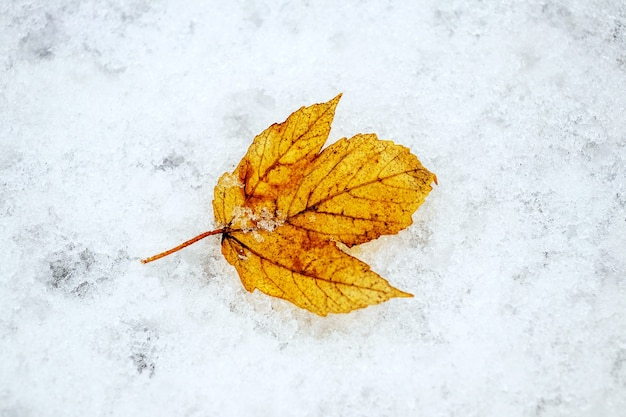 Withered yellow leaf on wet snow