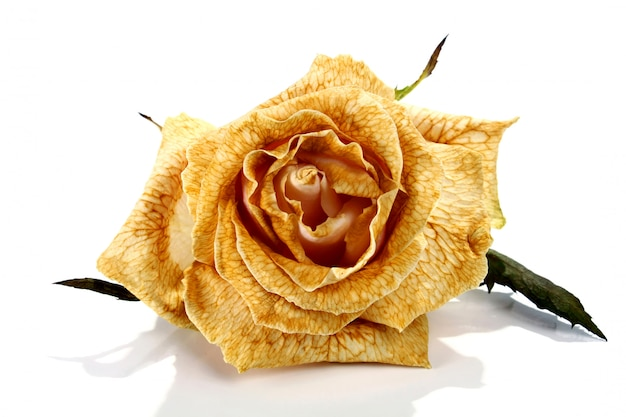 Увядшая роза
