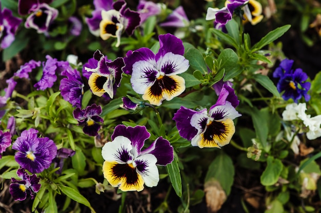 Wittrockiana. pansy. garden purple violet close-up.
