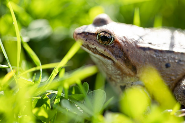A witty frog sits on the grass under the rays of the sun. swamp frog close-up.