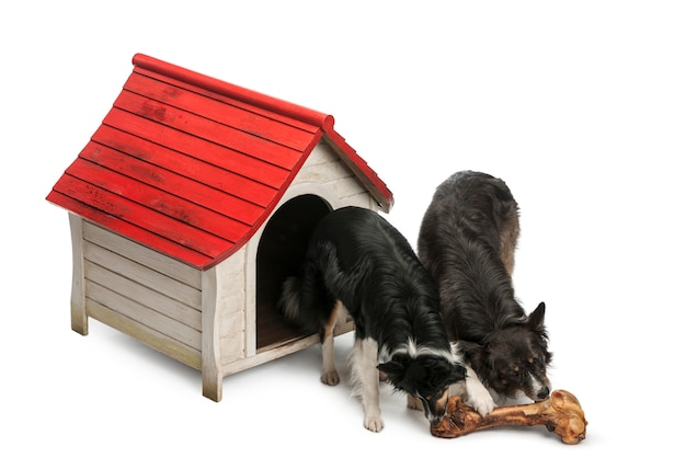 Wo border collies eating a huge bone in front of their kennel against white background