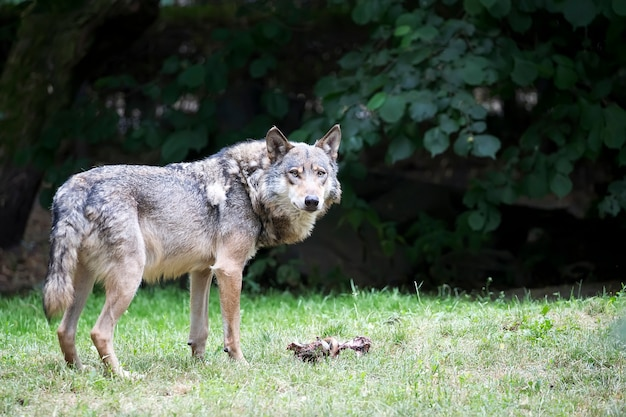 Wolf in a clearing