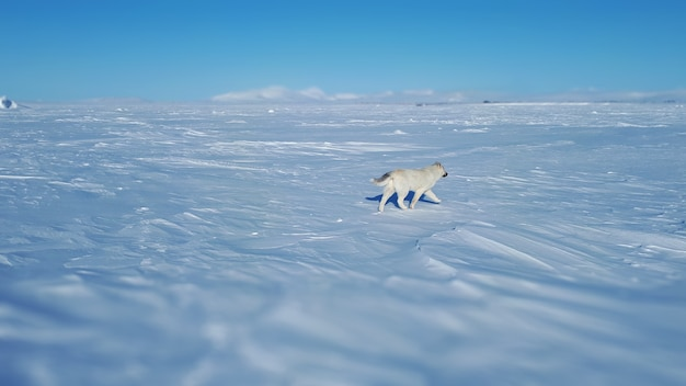 Wolf dog over the tundra in the frozen sea walking wolf dog rear view