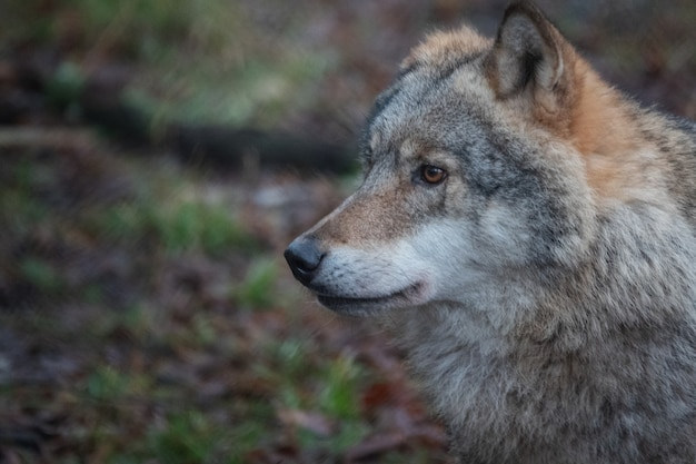 Волк в профиль крупным планом волк в заповеднике
