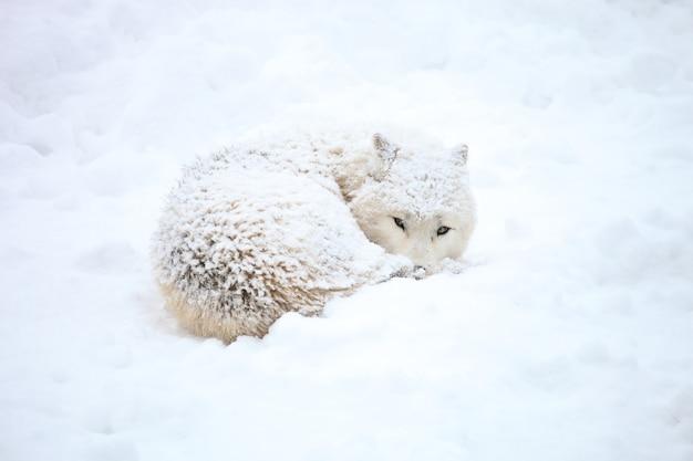 Волк в снегу