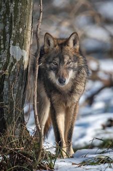 가까이서 숲에서 늑대. 겨울 자연에서 야생 동물 장면. 자연 서식지의 야생 동물