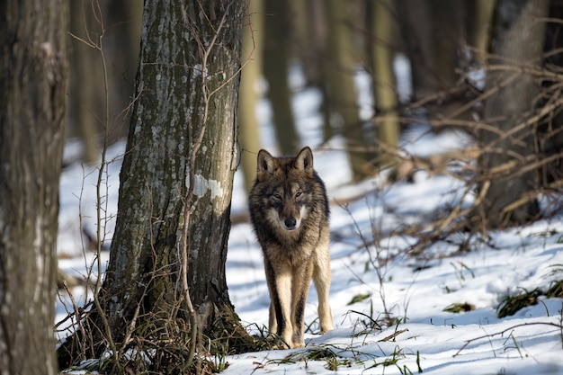 自然の生息地のオオカミ