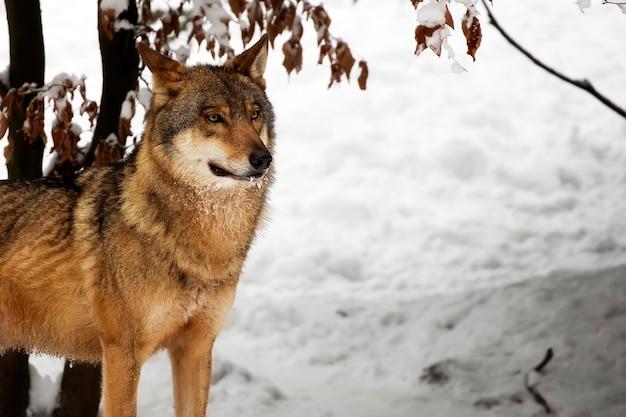 冬のオオカミの肖像画