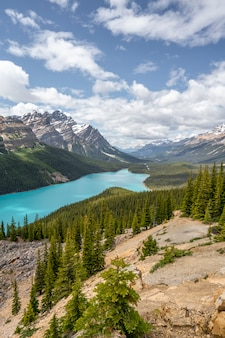 A wolf in peyto lake canada