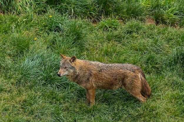 Волк стоит на лугу.