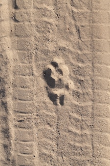 Wolf track on the sand on the road from the sand, photo close-up