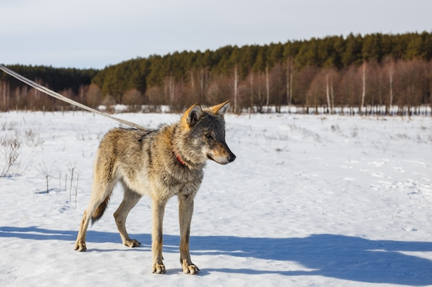 A wolf in winter in a wide field on a leash in the snow against a blue sky