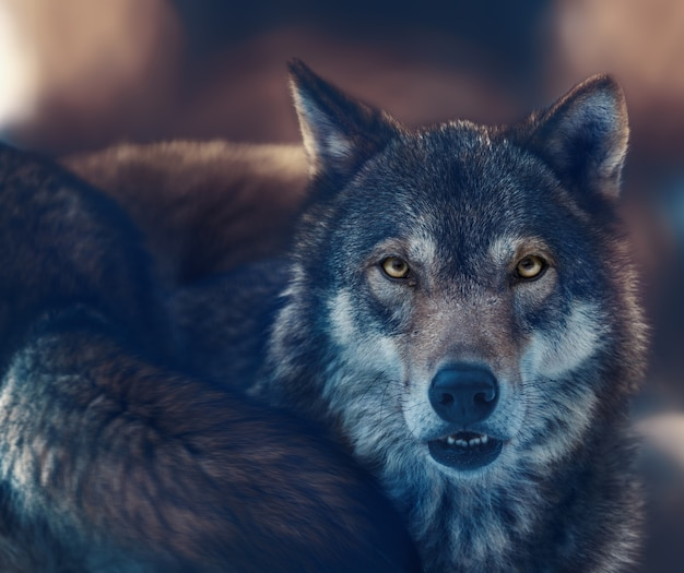 A wolf with yellow eyes