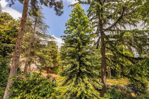 Воллемия - одно из древнейших растений на земле партенит крым