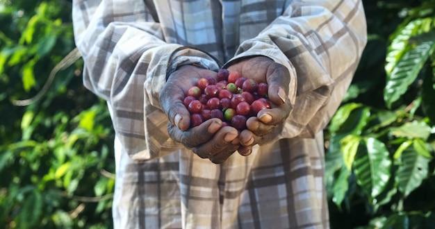 彼の手で摘んだ赤いコーヒー豆を示す女性アメリカのアフリカの農夫
