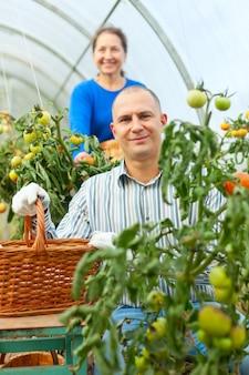 Женщина и мужчина, собирающий помидор