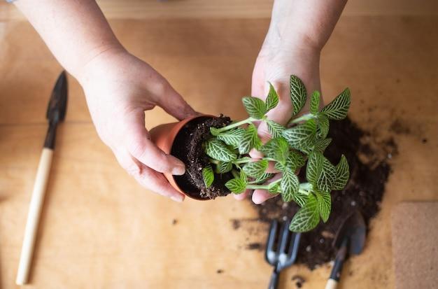 家にいる女性が新鮮な植物を移植