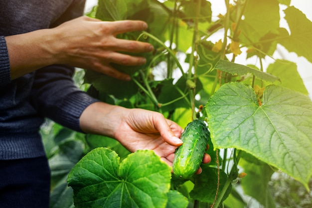 Woman caring for growing cucumbers in a greenhouse. harvesting concept
