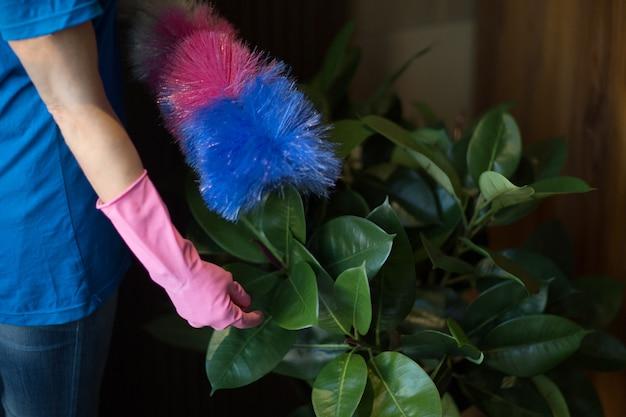 집 원 예 식물의 녹색 잎을 청소하는 여자. 식물 관리. 조경 디자이너.