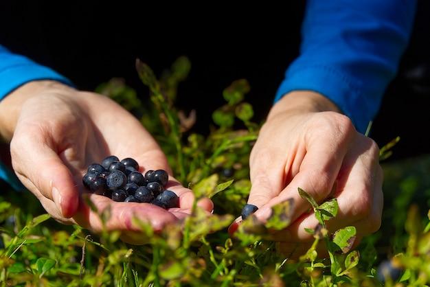女性は森の中で有機ブルーベリーを収集します。女性の手が夏の森でブルーベリーを集めます。ブルーベリーで汚れた女性の手。