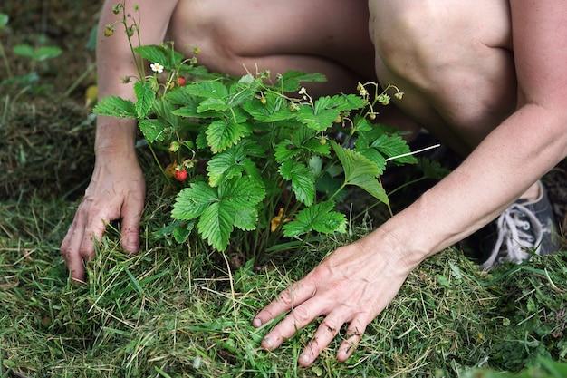 여자는 잔디를 깎은 딸기 덤불을 덮고 있다