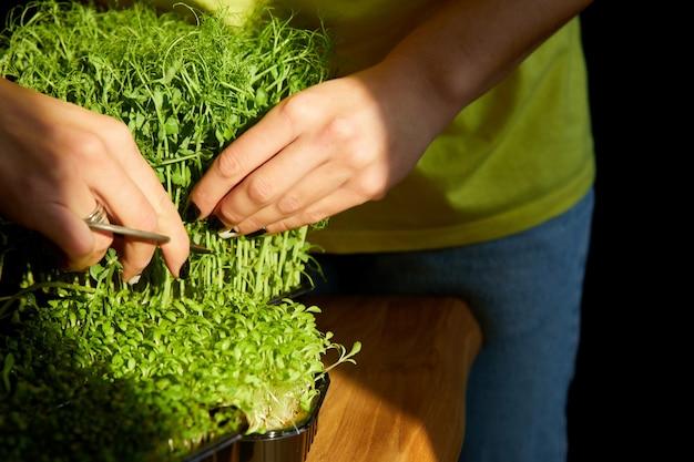 나무 테이블, 하드 라이트에서 가위 microgreen으로 잘라 여자를 닫습니다, 공간을 복사합니다. 가정 원예, 비건 채식, 건강 식품, 슈퍼 푸드.