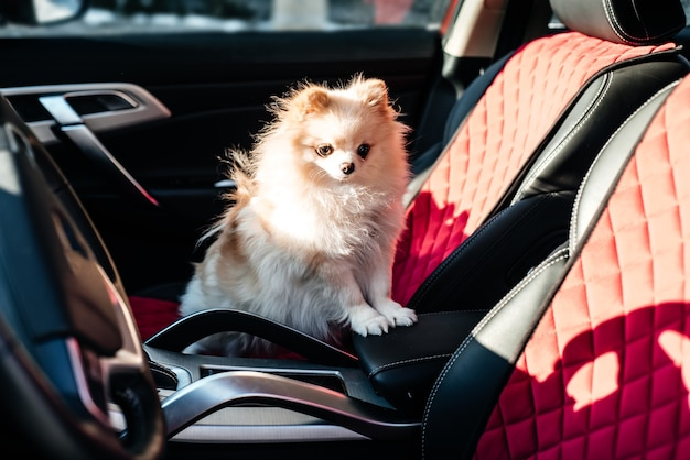 Woman and dog spitz in car. funny dog traveling. vacation and travel with pet concept.