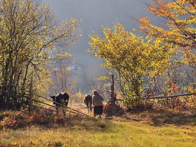 女性は秋の山の牧草地の家から牛を運転します