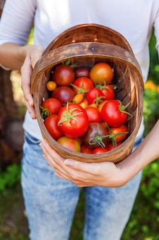 Woman farm worker holding a basket of fresh ripe organic tomatoes