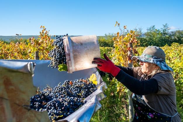 女性農民は、ジョージア州カヘティのトレーラー内で収穫されたブドウのバケツを空にします。
