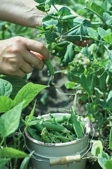 女性農家が熟したエンドウ豆を集める