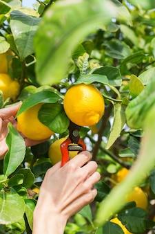 Woman farmer harvesting picking lemons with garden pruner in hands