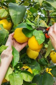 여자 농부 손에 정원 pruner와 레몬 따기 수확