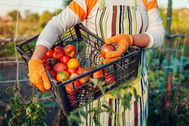 Woman farmer holding box of red tomatoes on eco farm. gathering autumn crop of vegetables. farming, gardening