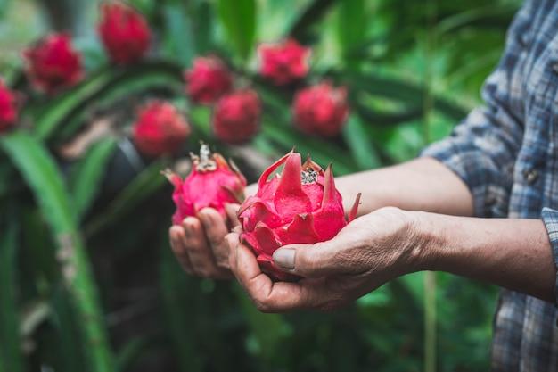有機農場でドラゴンフルーツを保持している女性農夫。農業または栽培の概念