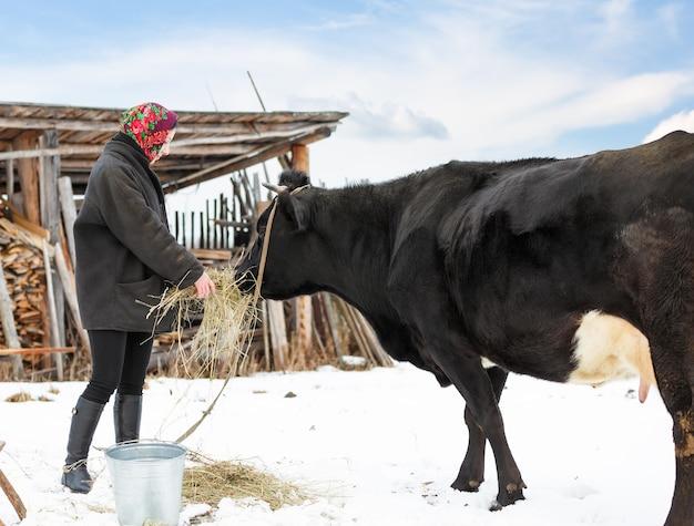 冬服を着た女性農家が牛に餌をやる