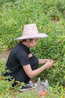 Woman farmer picking  chilli in agricultural field