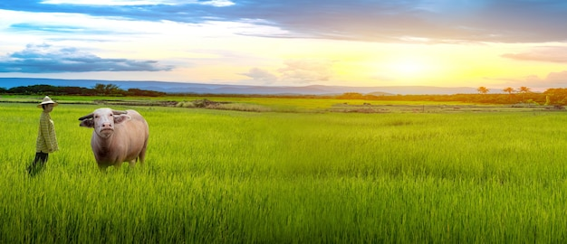 Woman farmer staring buffalo and green rice seedlings in a paddy field with beautiful sky and cloud