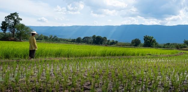 美しい空と雲のある水田で緑の稲の苗を見つめる女性農家