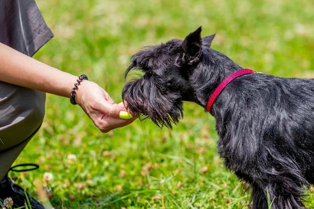 黒犬種の犬ジャイアントシュナウザーに餌をやる女性。動物の世話