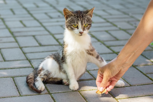 A woman feeds a wandering cat with cookies. a hand with cookies near a kitten_