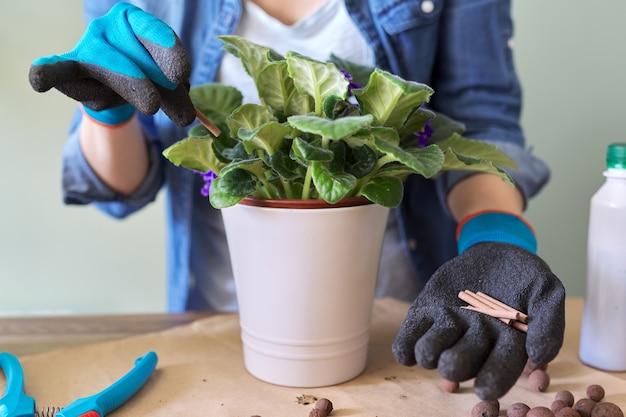 女性は自宅でスティックのミネラル肥料でポットの開花セントポーリアを肥やします。屋内鉢植えの栽培と手入れ。趣味とレジャー、家庭菜園、観葉植物