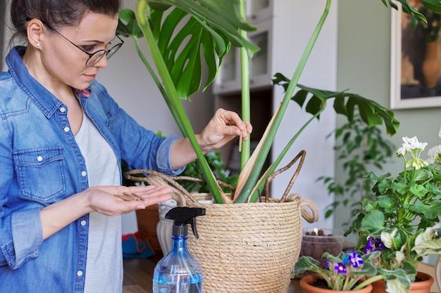 여자는 집에 있는 막대기에 광물질 비료로 냄비에 있는 몬스테라 식물을 비옥하게 합니다. 실내 화분에 심는 식물의 재배 및 관리. 취미와 여가, 집 가드닝, 관엽식물, 도시정글