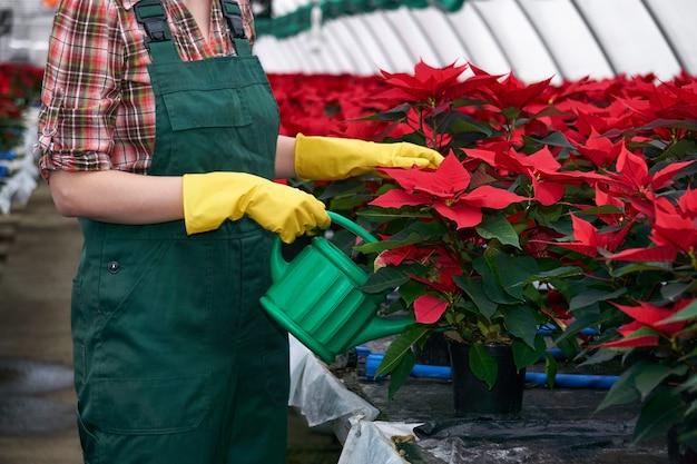 온실에 있는 여성 꽃집은 비료나 살충제를 토양에 적용하여 포인세티아 꽃을 돌본다