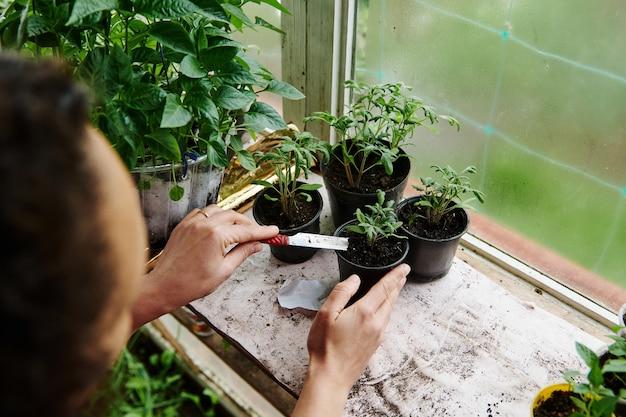 鉢植えで発芽したトマトの芽で土を肥やす女性庭師。自国の温室での春の庭仕事の概念